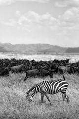 The Watchers - The Great Migration (virtualwayfarer) Tags: serengeti tanzania eastafrica easternafrica tanzanian nationalpark wild safari adventuresafari adventure wildlife greatmigration nature landscape mara simiyu migration unesco unescoworldheritage heritage canon canon6d zebra zeebrah wildhorse horses stripe stripes wilderbeast herd greatherd wildebeest gnus antelope connochaetes bluewildebeest