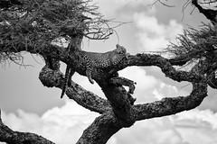 Leopards of the Serengeti (virtualwayfarer) Tags: sergenti serengetinationalpark nationalpark tanzania eastafrica safari adventure wild wildanimal bigcat bigcats kitty powerful pantherapardus panthera felidae subsaharanafrica conservation predator africanleopard leopard spots spottedcat lazy relaxing unesco unescoworldheritage worldheritagesite photosafari photographysafari wildlifephotography inspiring canon6d alexberger virtualwayfarer mara endlessplains