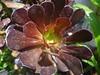DSC02523 (alfredoeloisa) Tags: plantae magnoliophyta rosidae saxifragales crassulaceae sempervivoideae aeonium aeoniumarboreum