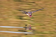 Apus Melba, Βουνοσταχτάρα, Alpine Swift (belas62) Tags: χελιδόνι πάρκο τρίτση greece bird ngc swift apus melba βουνοσταχτάρα alpine skimmingswift
