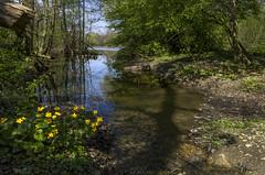 At Markwasen lake Reutlingen (KF-Photo) Tags: baumschatten ohmenhausen reutlingen spiegelungen sumpfblumen uferbereich wasenwald
