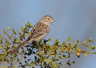Brewer's Sparrow Elephant head pond az