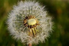 Blow! | Puste! (rainbowcave) Tags: spring macro taraxacumofficinale blowball clock dandelion pusteblume löwenzahn makro frühling