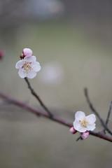 IMG_2562crs (kenta_sawada6469) Tags: flower flowers spring nature macro colors japan ume japaneseapricot japanese