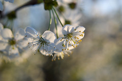 Memories (Alexandra Horvath) Tags: nature outdoor spring blossom flowers depthoffield bokeh nikon nikond3200 hungary tree garden