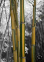 Bambous Natures (hybrid.photographer) Tags: grosplan france natureetpaysages plantes bokeh languedocroussillon bambouseraie couleursélective vert couleurs jaune europe nature bambous natureandlandscapes bamboo closeup colors coloré green plants selectivecolor
