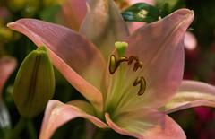 (Light Echoes) Tags: sony a6000 2017 macro tamron90mm winter march philadelphia philadelphiaflowershow philadelphiainternationalflowershow flower lily