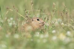 Zieselbaby (Claudia Brockmann) Tags: nature natur wildlife wildanimal ziesel zieselbaby wiese outdoor bulgarien