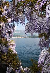 Bellagio attraverso (illyphoto) Tags: bellagio glicine tremezzo comolake lakecomo lario lagodicomo photoilariaprovenzi