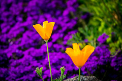 California Poppy (randyherring) Tags: ca california spring californiapoppy elkgrove nature flowers afternoon springflowers outdoor bloom neighborhood flora suburban unitedstates us