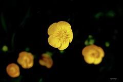 Ranunculus    bouton d'or (kiareimages1) Tags: flowers fleurs fiori flores colors colori couleurs colores images immagini imagery macro macroflowers fleurssauvages fioriselvaggi nature natura fondnoir