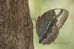Stichophthalma louisa (pirotake) Tags: amathusiini morphinae nature nymphalidae nymphalid schmetterling stichophthalma thailand butterflies butterfly insect papillon junglequeen