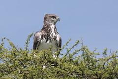 Juvenile - Martial Eagle - Polemaetus bellicosus (rosebudl1959) Tags: 2017 botswana centralkalaharigamereserve juvenilemartialeagle