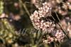 Alf Ribeiro 0135 0056 (Alf Ribeiro) Tags: corderosa flor flores galhos parqueurbano parquedocarmo planta prunussp regiãosudeste cerejeira ensolarado flora floração florida florido inverno zonaleste árvore