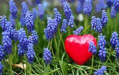 💗 [Explored Apr 23, 2017] (G_E_R_D) Tags: herz heart rot red spring frühling traubenhyazinthen muscari flowers blumen