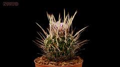 Echinofossulocactus arrigens (Nyxtofulakas) Tags: echinofossulocactus arrigens stenocactus cactus succulent plant nature spines crispatus arrigensis flower