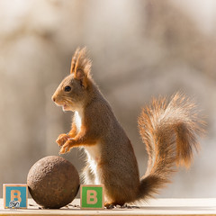 the B from balls (Geert Weggen) Tags: red nature animal squirrel rodent mammal cute look closeup stand funny bright sun backlight staring watching hold glimpse peek up tail message communication letter woodenframe capitals numbers school child education learn baby word alphabet teacher ball iron heavy rusty happy geert weggen sweden jämtland ragunda bispgården