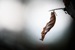Last remnant (Ir3nicus) Tags: 105mm28vr blatt makro nahaufnahme natur verwelkt ausen geringeschärfentiefe geldern nordrheinwestfalen deutschland nikond750 dslr fullframe outdoor germany leaf leaves autumn winter dead decay withered closeup macro bokeh nature