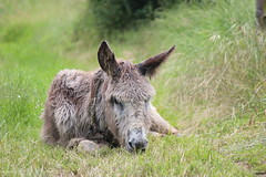 IMG_6097 (Pablo Alvarez Corredera) Tags: burro gato gata gallina rural medio vida hierba alta pradera praderio espigas arbol arboles burrito orejas orejitas gatita