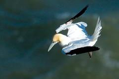 Gannet (spjarvis1) Tags: gannet coast nature birds