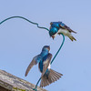 Tree Swallows Quarrel (Golden_Arrow) Tags: bird tree swalow quarrel fight