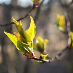 (sonjawitting) Tags: finland naturecapture summeremerging nubs tree naturedetails nordicnature nature spring