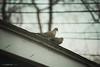 087.365   doves are in love (sidemtess   linda) Tags: roof birds zoom 365 doves 2014 canon60d 087365 sidemtess wehaveallthebirdsinsalemaroundourhousebecausewehavetonsoffeederswehaveaconstantswooshandchatterandsinginggoingonandweloveit ofcoursethedownsideisthatwealsohavepoopeverywhere