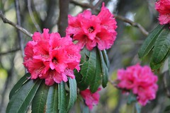 Pink Rhododendron (Sougata2013) Tags: pink india mountain flower nature march spring nikon hill rhododendron mandi himachalpradesh 2014 nikond3200 pinkrhododendron dianapark