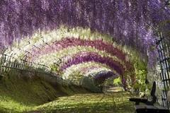 Цветы глицинии, Япония