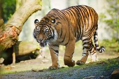 sumatran tiger (maaddin) Tags: tiger sumatrantiger sumatratiger pantheratigrissumatrae zooosnabrck