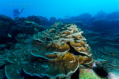 Healthy Clipperton Corals (- drsteve -) Tags: france coral island underwater hard plate scuba diving grazing clipperton dualiso