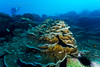 Healthy Clipperton Corals
