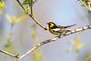 _53F8304 Blackburnian Warbler (~ Michaela Sagatova ~) Tags: songbird woodwarbler blackburnianwarbler dendroicafusca orangebird dvca michaelafotheringham michaelasagatova