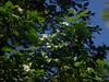 Murraya paniculata, Flecker Botanic Garden, Cairns, QLD, 21/09/13 (Russell Cumming) Tags: plant weed queensland cairns murraya rutaceae murrayapaniculata fleckerbotanicgarden
