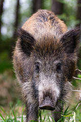 Friendly boar 2 (spiterek) Tags: sea wild wet animal nikon fat poland baltic boar krynicamorska d7100