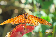 Gulf Fritillary my guess South Coast Botanic Garden Springtime_4303 (pekabo90401) Tags: butterflies gulffritillary southcoastbotanicgarden canonsx50 pekabo90401