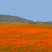 California Poppies (Eschscholzia californica)
