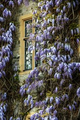 Good Year at the Castle (Elliott Bignell) Tags: flowers england southwest castle hotel purple somerset lilac blooms wisteria taunton wessex