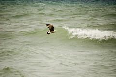 Seagull on the lake (Pahz) Tags: bird beach water waves seagull horizon scenic lakemichigan greatlakes whitecaps kenoshawi
