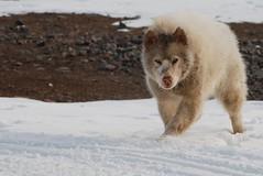 Stranger Danger (Bob Welch) Tags: winter dog snow cold hair sled sn sld