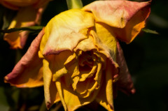 Rose (Orton) (efgepe) Tags: color colour macro rose photoshop mai withered makro farbe garten orton lightroom 2014 verwelkt sigma70mm28dgmacro