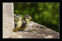 """Mésange bleue (l'envol) """"2014"""" (Christian Labeaune) Tags: france oiseaux plumes bleue 2014 mésange faune lenvol bourgognecôtedor chatillonsurseine21400 christianlabeaune"""