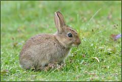 Baby Bunny (Full Moon Images) Tags: baby rabbit bunny nature animal mammal wildlife sandy bedfordshire reserve lodge thelodge rspb