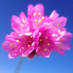 Good morning. ☺️ (Kine H.-N.) Tags: pink summer flower macro nature fauna square petals spring fresh petal squareformat goodmorning makro blomst vår iphoneography macrodreams instagramapp uploaded:by=instagram olloclip