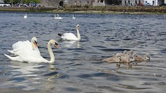Seaward Bound. (mcginley2012) Tags: ireland reflection galway nature water birds swans cygnets claddagh muteswan