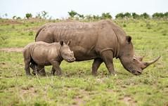 South Africa (Martijn van Haaster) Tags: game southafrica nationalpark wildlife rhino rhinoceros kruger neushoorn zuidafrika rhinocerotidae zuidafrikaanseneushoorn