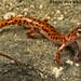 Eurycea lucifuga: Cave Salamander