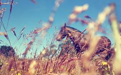 (*paz) Tags: chile sol nature colors caballo libertad pasto feliz porma