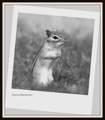 Chipmunk (Diane Marshman) Tags: white black nature effects rodent pennsylvania framed wildlife small pa chipmunk northeast