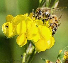 Good To The Last Drop! (Carolyn Lehrke) Tags: usa flower nature yellow flora wildlife insects bugs bee wv greenbriercounty ronceverte